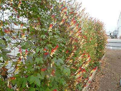 """发芽:播种建议使用""""斯康得""""德国进口泥炭花卉育苗专用介质."""
